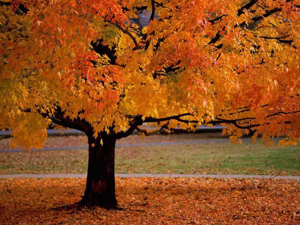 Fall Sugar maple